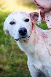 How to Treat Ear Bleeding on Dog