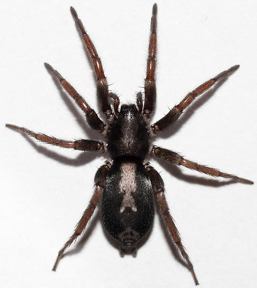 What Are Spider Bites Symptoms Wound Care Society